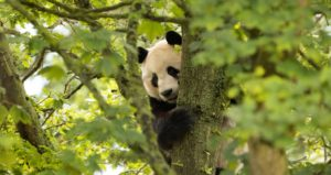 Photo of a panda in a tree